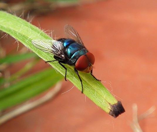 Vlieg op grasspriet