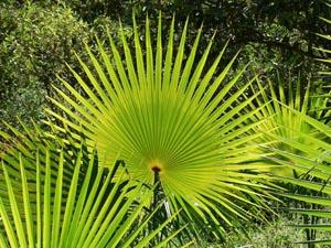 Foto palmboom