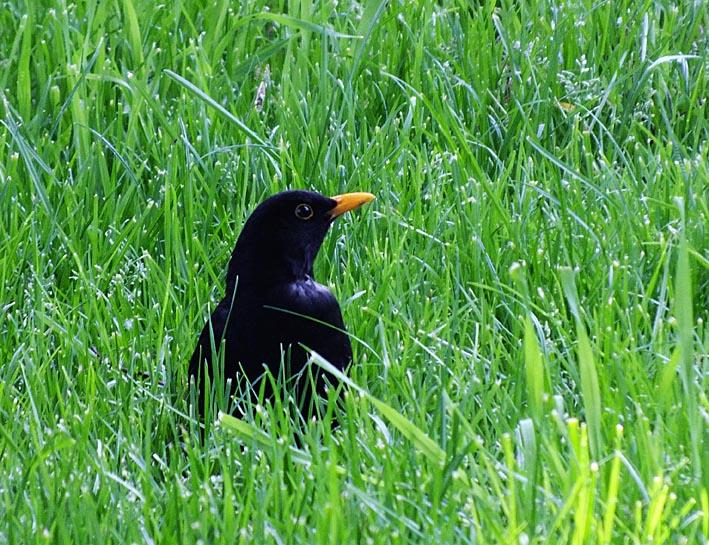 Merel in het hoge gras