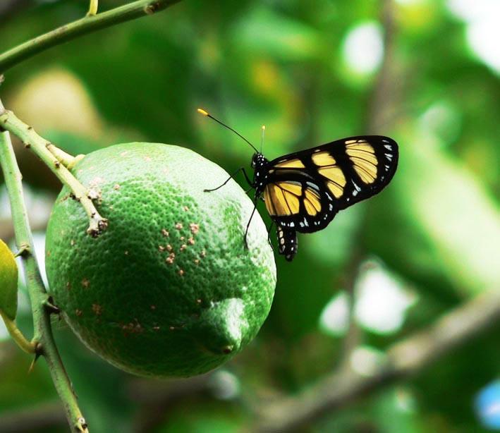 Vlinder op citroen