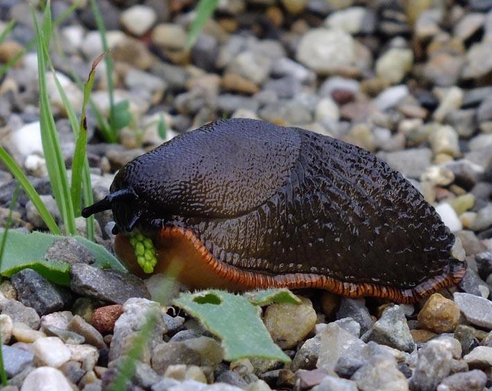 Etende slak