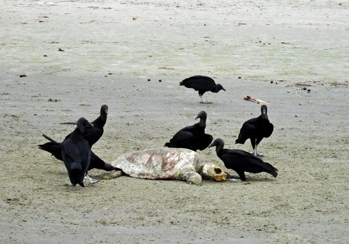 Foto van gieren rond dode schildpad