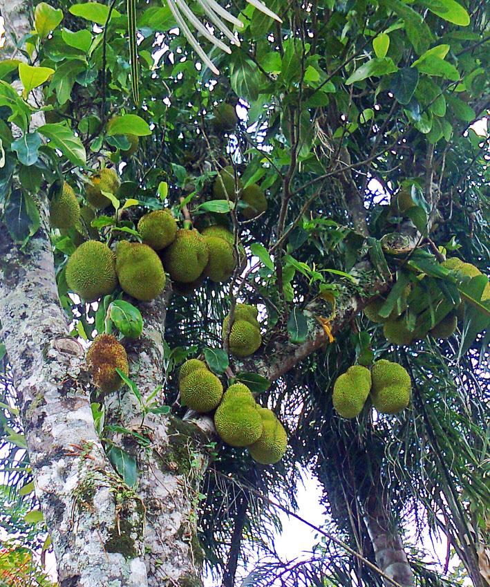 Foto groene vruchten aan boom