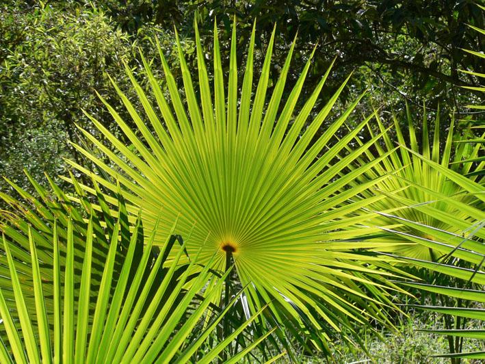 Foto van waaier van palmbladeren
