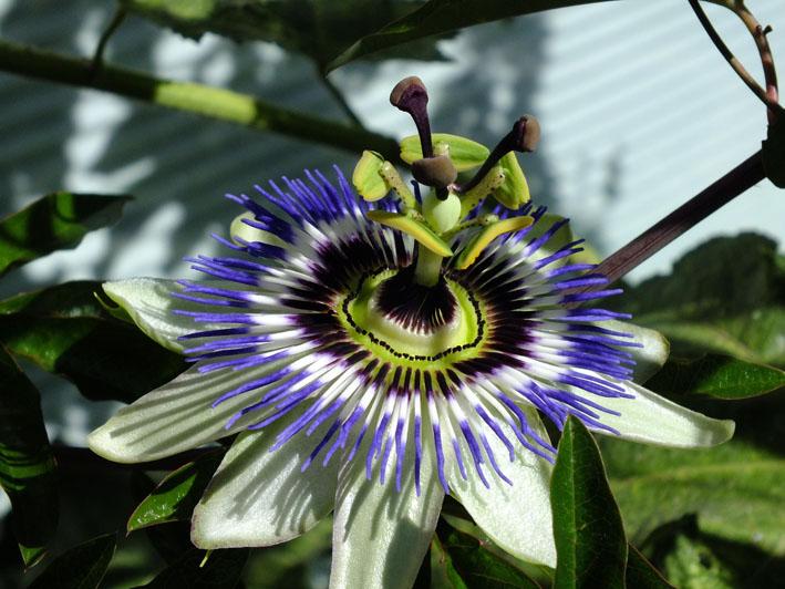 Foto van de bloem van de passievrucht