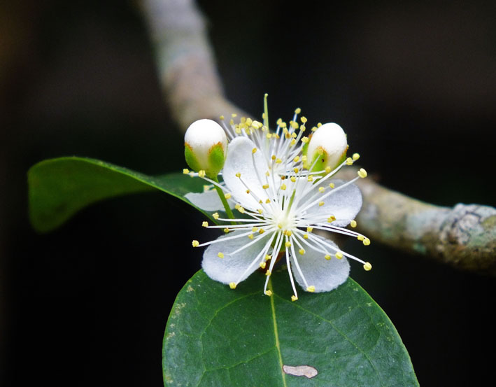 Bloesem van de pitanga | Surinaamse kers | Surinam cherry