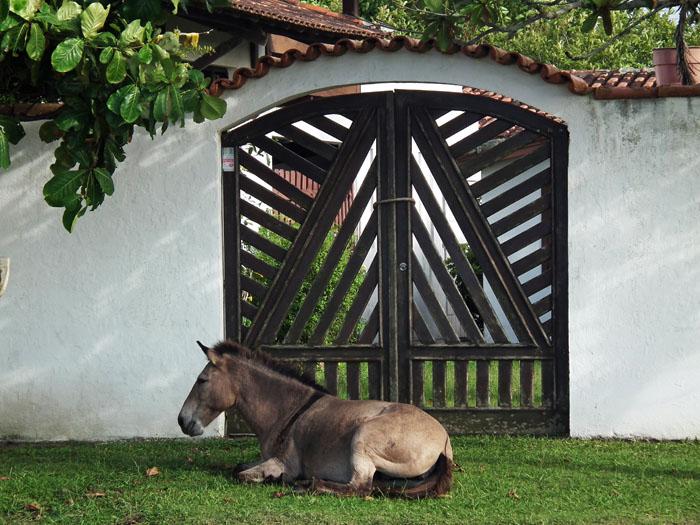 Foto muildier liggend in gras voor poort