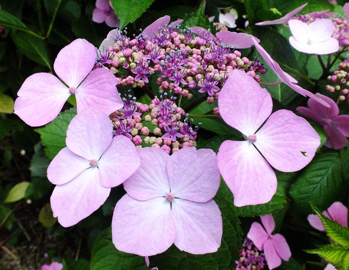 Foto lichtpaarse bloemen in verschillende fases van ontwikkeling
