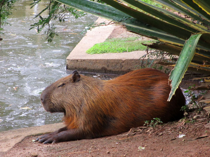 Foto van 's wereld grootste knaagdier: capibara