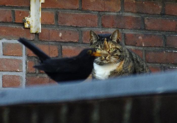 Foto van kat die staart naar merel