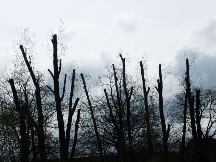 Foto van afgetopte boomstammen tegen dreigende lucht