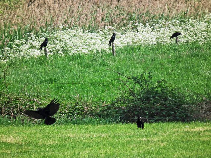 Foto van kraaien op en rond een weiland