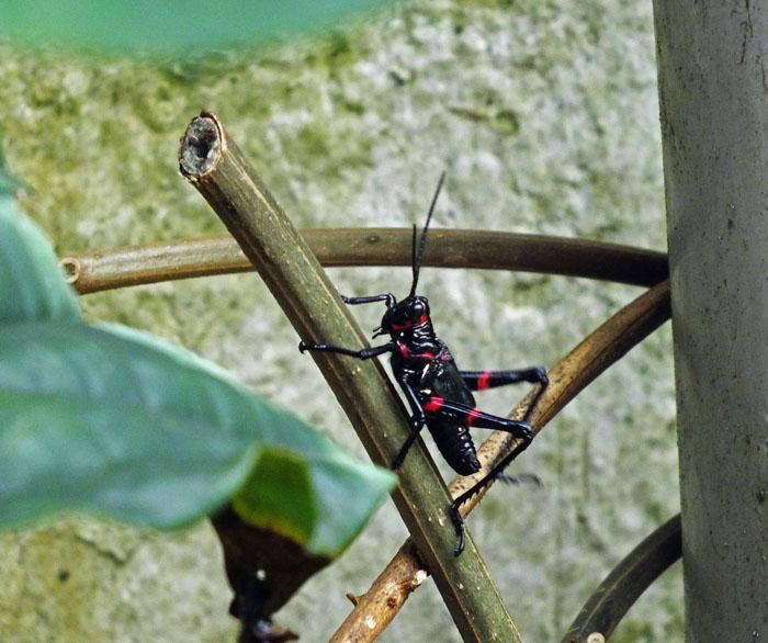 Foto van zwarte sprinkhaan met rode accenten