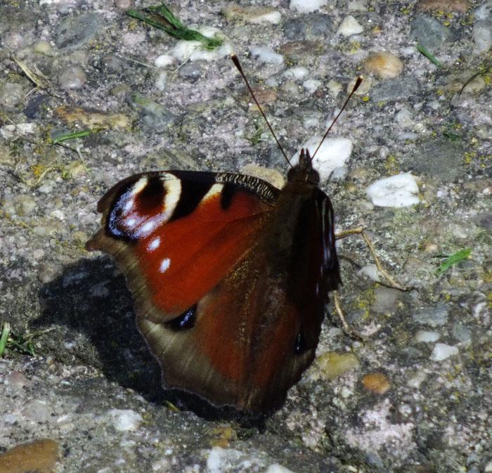 Foto van vlinder met kleurrijke vleugel