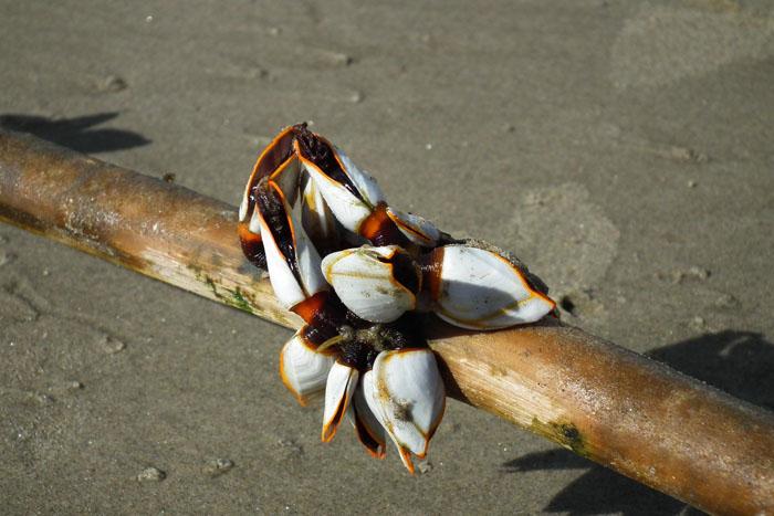 Foto van wit met oranje schelpen op stok met weekdiertjes