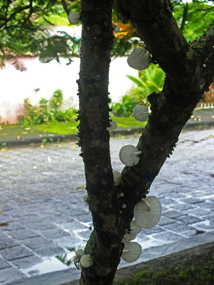 Foto van witte paddestoelen op gevorkte boomstam