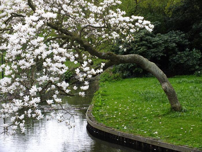 Foto van kromme magnoliaboom