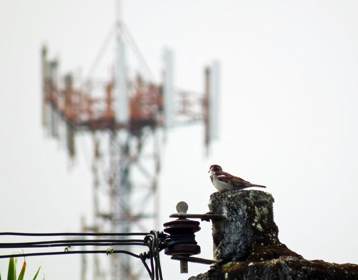 Foto van mus op elektriciteitspaal, gsm-antenne op achtergrond
