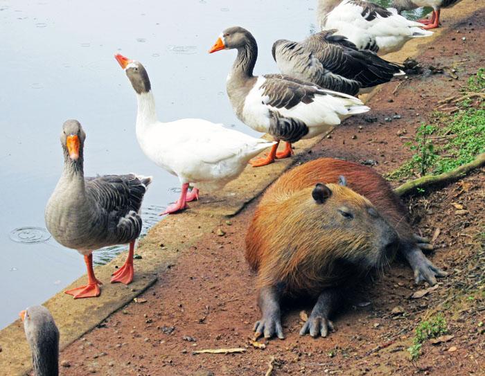 Foto van capibara en ganzen