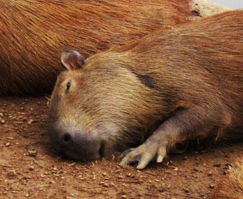 Foto van slapende capibara