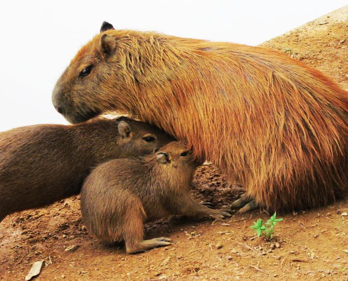 Foto van capibara met jongen