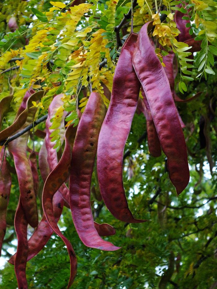 Foto van grote rode peulen aan boom