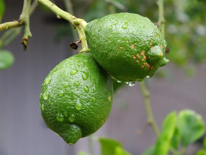 Foto van citroenen met regenruppels