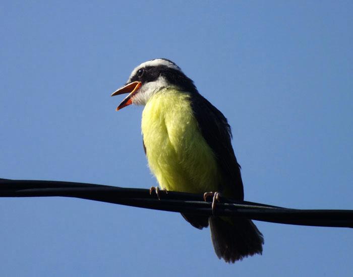 Foto van schreeuwende grote kiskadie (vogel)