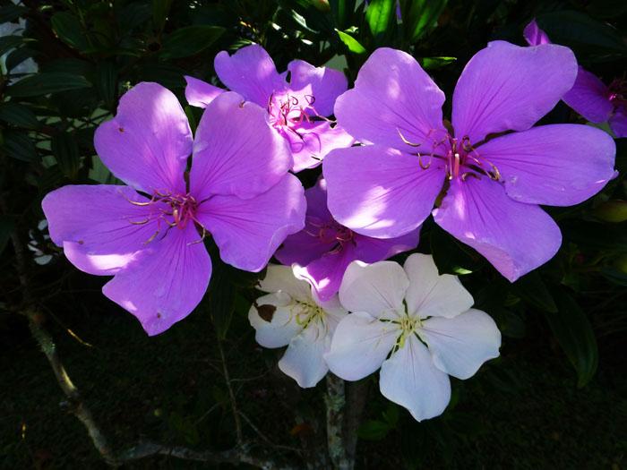 Foto van plant met lila en witte bloemen
