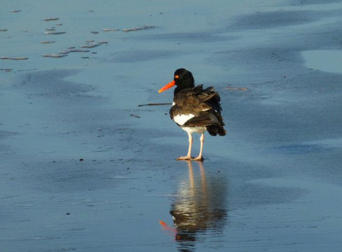 Foto van scholekster op het strand