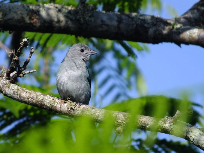 Foto van jonge blauwgrijze vogel op tak