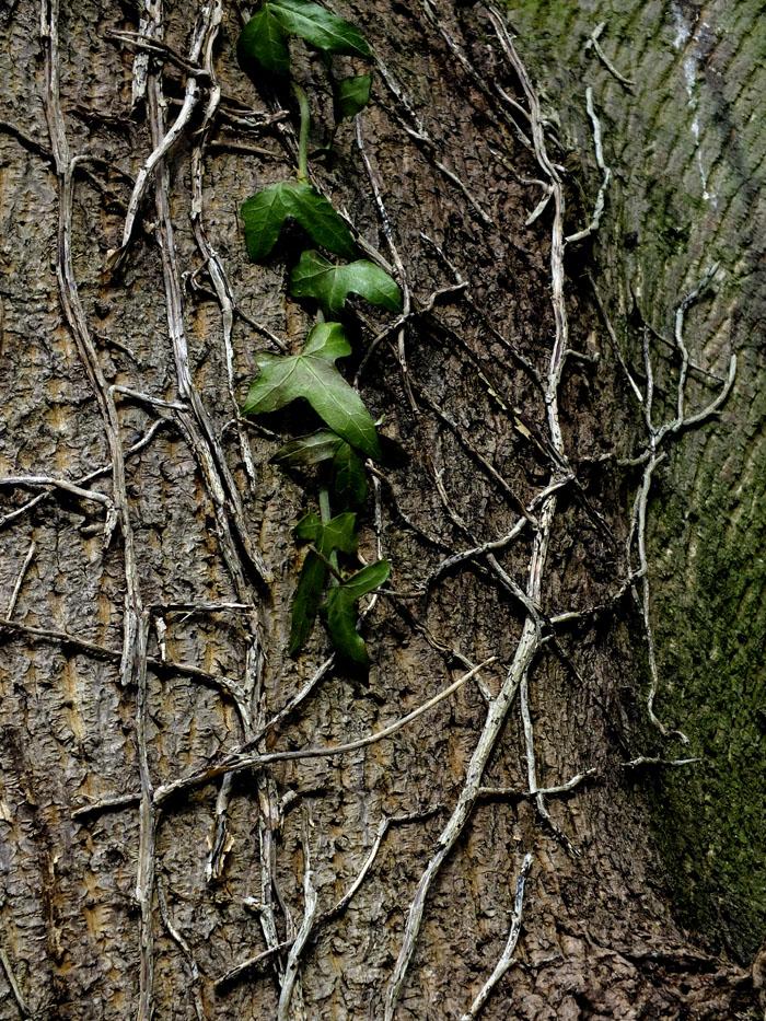 Foto van boomstam met klimop