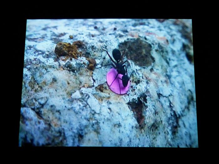 Foto van mier met roze rondje