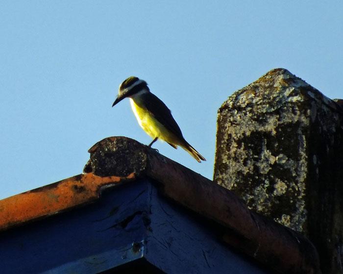 Foto van vogel met gele borst op daknok