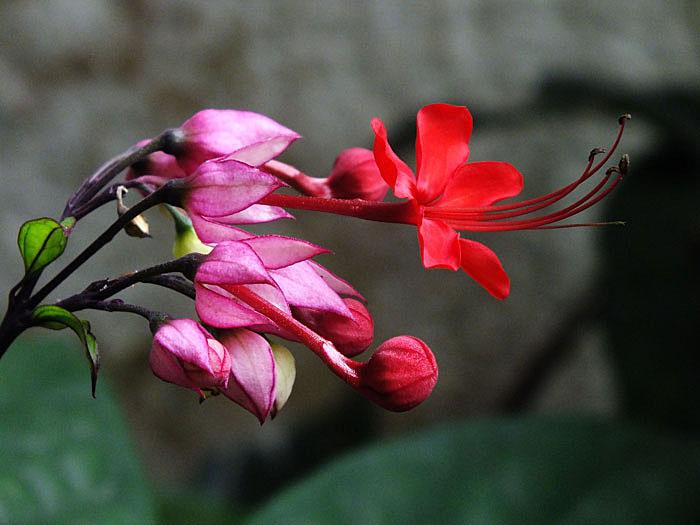 Foto van rood bloemetje in verschillende gedaantes