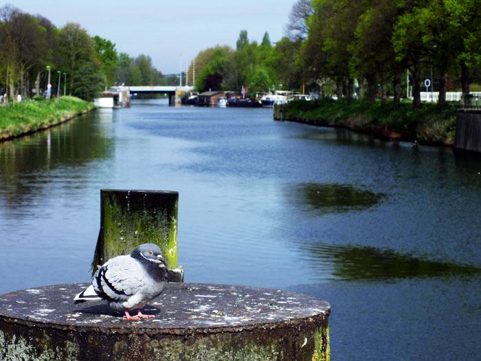 Foto van duif op paal aan het kanaal