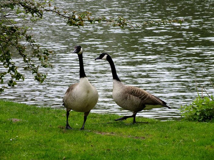 Foto van twee ganzen, die lijken te dansen