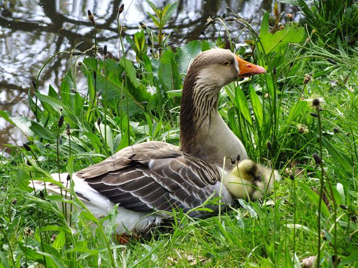 Foto van gans met jong in het gras