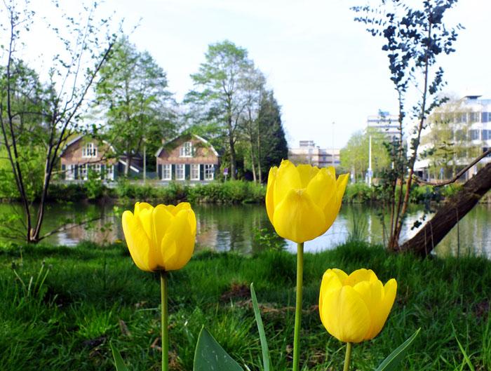 Foto van gele tulpen langs het kanaal