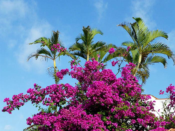 Foto van bougainville en palmbomen