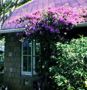 Foto van huis met bougainville