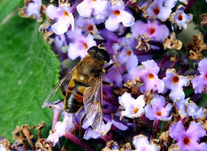 Foto van bij op paarswitte bloemetjes