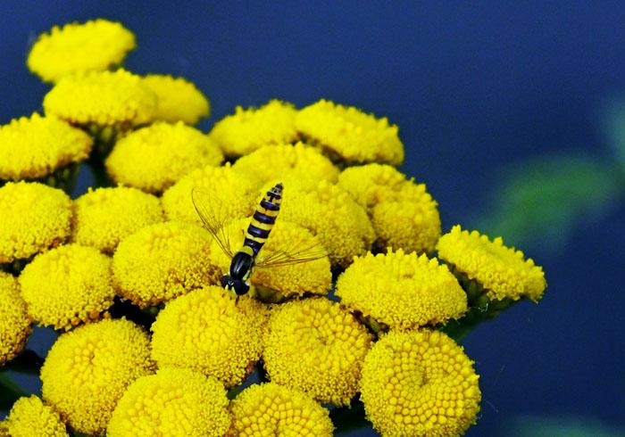 Foto van insect met geel-zwart lijf op gele bloemetjes