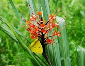 Foto van gele vlinder op rode bloem uitgezoomd
