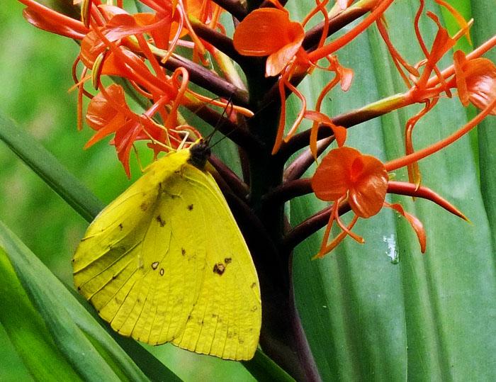 Foto van gele vlinder op rode bloem