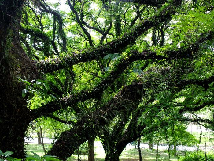 Foto van bomen begroeid met planten