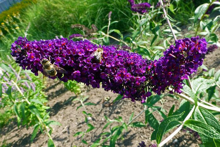 Foto van bijen op paarsige bloemetjes