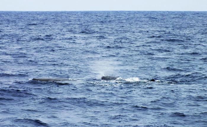 Foto van potvissen, een spuitend