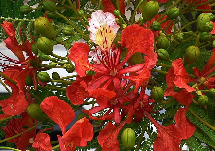 Foto van bloem van falmboyant