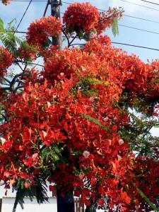 Foto van flamboyant (boom met rode bloemen)